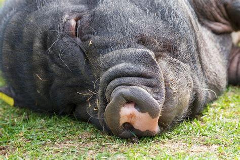 pot belly pigs pot belly pigs related keywords pot belly pigs long tail keywords keywordsking