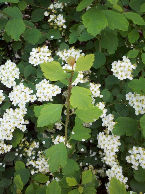 shrub with small white flowers in identification what is this shrub with fan shaped toothed leaves and small white blooms and