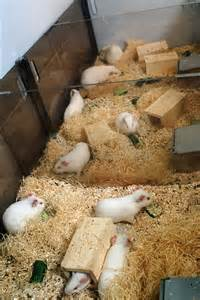 aspen bedding for rats awesome bedding scanbur design