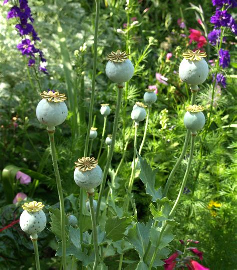 poppy seed designs poppy seeds plant www pixshark com images galleries with a bite