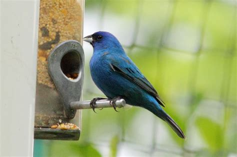 digital photography indigo bunting at a feeder
