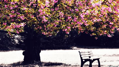 baum mit rosa blüten die 71 besten baum hintergrundbilder