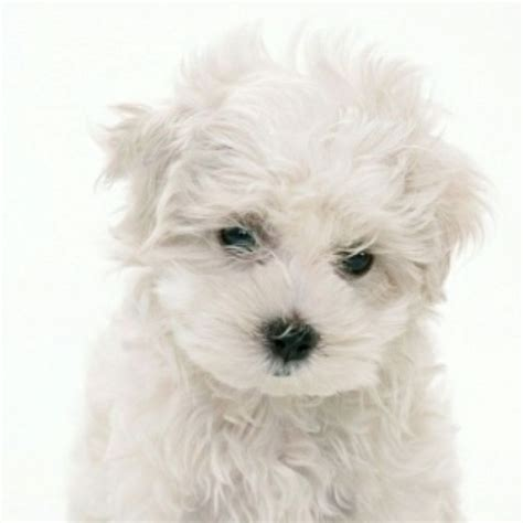 Smart Dogs That Dont Shed by I Want One Maltese Puppy Great Dogs Stay Small
