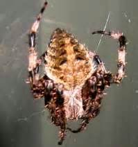 Barn Spider Bite by Barn Spider What S That Bug