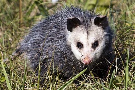 Possum Images Virginia Opossum Didelphis Virginiana Natureworks