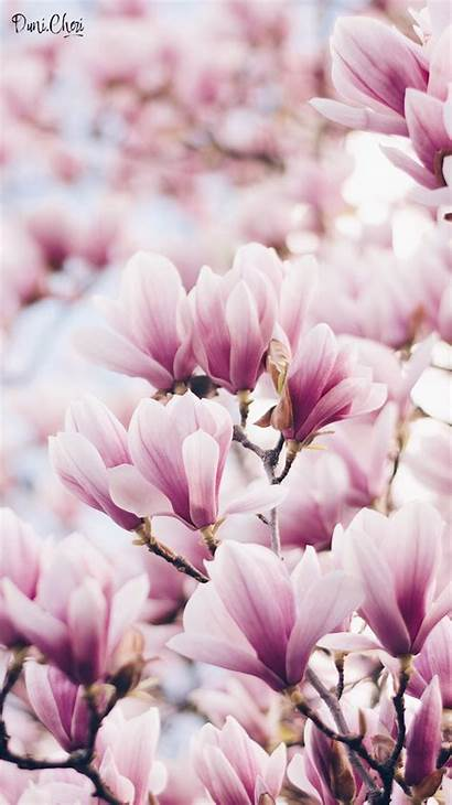 Magnolia Flower Rosa Mobile Iphone Blumen Hintergrundbilder