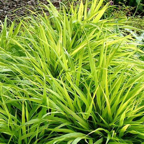 what ornamental grasses are perennials 20 best shade plants for containers grasses plants and gardens