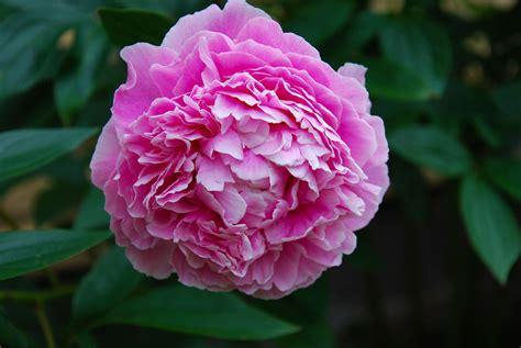 peony care flower flowers peonies garden information growing yard plant tree gardeningknowhow