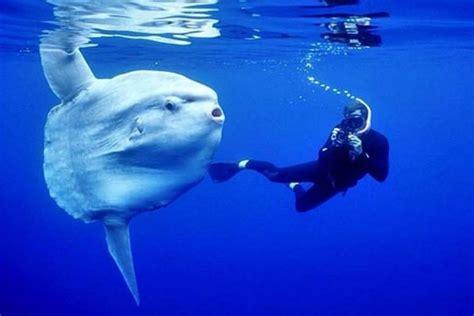 gigantesco pez luna sorprendio  buzos en bahia inglesa