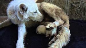 Newborn white german shepherd puppies - YouTube