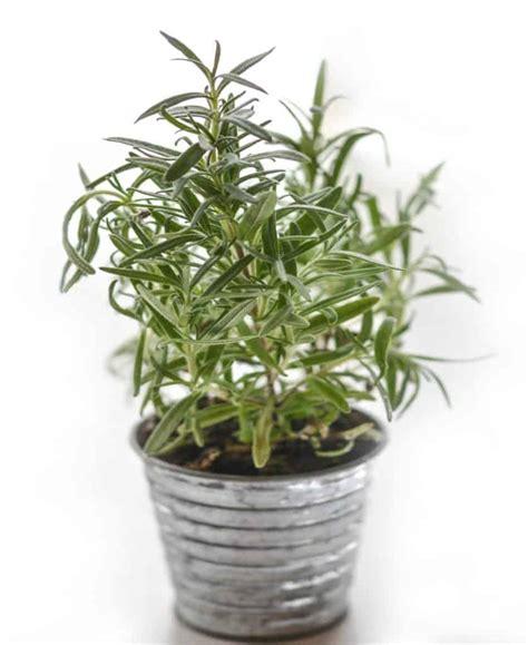 come coltivare il rosmarino in vaso coltivare il rosmarino in vaso aromatiche sul balcone