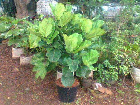jual pohon biola cantik jual tanaman hias jual