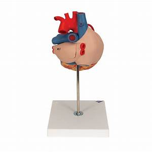 Anatomical Heart Model - Anatomy Of The Heart