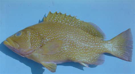 epinephelus hind speckled epperly ncfishes credit
