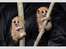 Baby slow lorises savetheslowloris