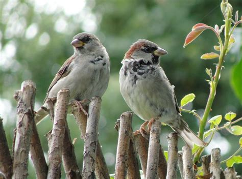 Birds That Look Like Sparrows but Larger