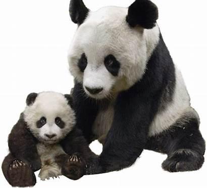 Panda Pandas Animal Animals Animales Oso Gigante