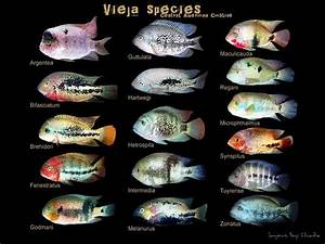 cichlids.com: love this chart