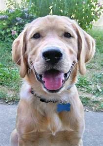 Retriever Labrador: Labrador Golden Retriever Mix