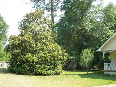 southern magnolia facts rator98huf magnolia tree facts