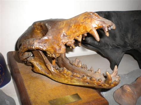 La Brea Coyote Skull