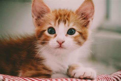 Kaķi vai kaķēni - visinteliģentākie nemaz tik lieli ...