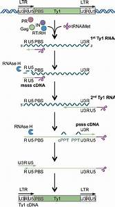 Steps In Reverse Transcription Of Ty1 Cdna  Details Of