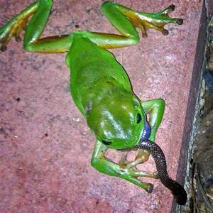 A green tree frog eating an orange-naped snake - ABC News ...