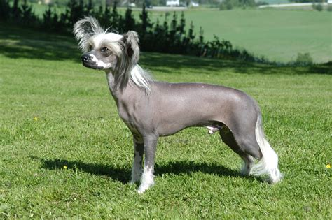 Dog chinese crested dog articles   2puppies.com