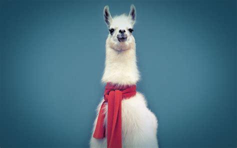 Wonderful Llama Photo by Best Llama Image Llama Wallpaper 12186