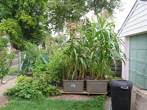 Grow Corn In Container Ricflairshowcom
