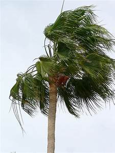 File:Palm tree blowing in the wind.jpg