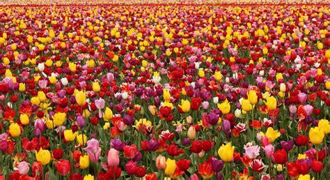 Wallpaper  Tulips, Flowers, Field, Different, Lots