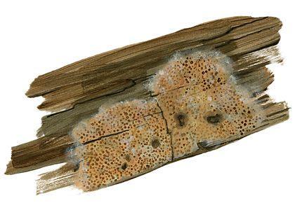 apšu smalkpiepīte - Ceriporiopsis aneirina (Sommerf.: Fr.) Domanski - Sēnes - Latvijas daba