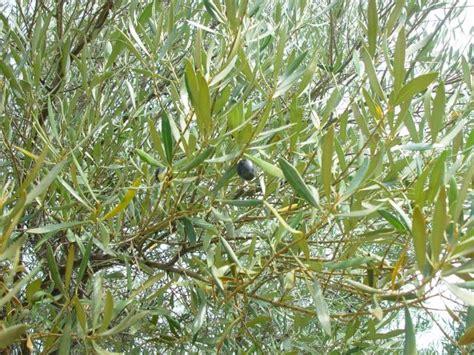 olive tree leaves olive forage feedipedia 1179