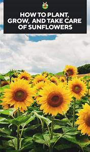 sunflowers how to plant grow and take care of sunflowers pin With how to take care of a garden