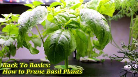 Back To Basics How To Prune Basil Plants Youtube