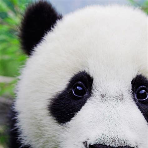Android Animal Wallpaper - animal panda wallpaper sc smartphone