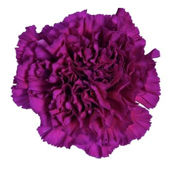 buy bulk purple carnations  wholesale price