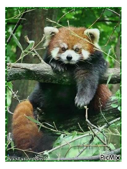 Panda Roux Picmix