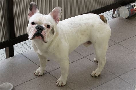 Filehenio  Ee  French Bulldog Ee   Jpg Wikimedia Commons