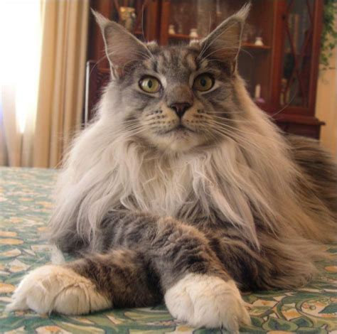 do maine coons shed in the summer my 11 month maine coon cross democratic underground