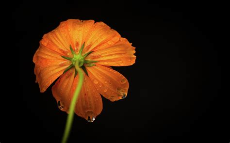 Black And Orange Flower Wallpaper by Orange Flower On Black Background Photograph By Photo By