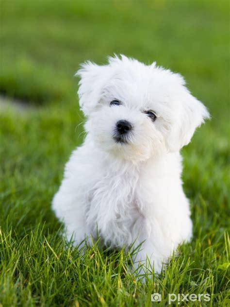 aufkleber hund welpen cute malteser welpen im garten