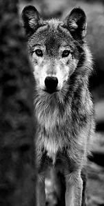 hipster wolf animal lobo vintage | Tumblr