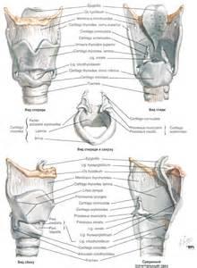 Larynx Netter Anatomy