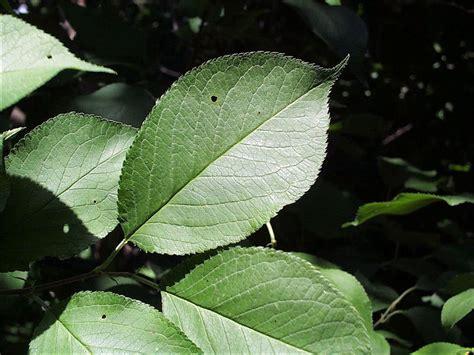leaf plum tree isu forestry extension tree identification wild plum prunus americana