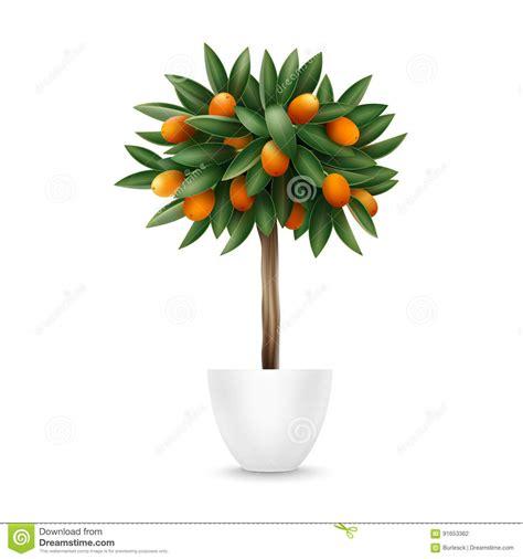 Kumquat Tree Pot Stock Photo Image Eating Closeup