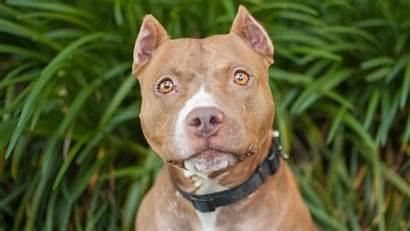 Pitbull Bull Pit Dogs Dog Pitbulls Breeds