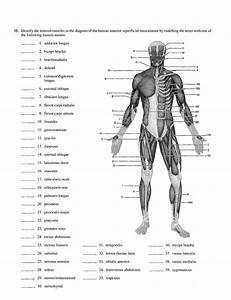 16  Muscular System Diagrams - Unlabelled